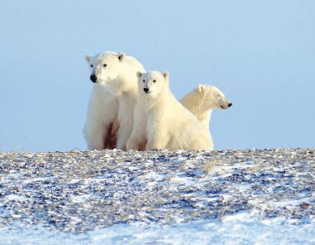 حقائق قد لا تعرفها عن الدب القطبي
