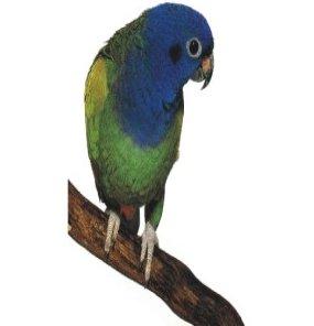صور و معلومات عن الببغاء الأزرق الجناحين , الببغاء الأزرق الجناحين Bluewinged Parrakeet