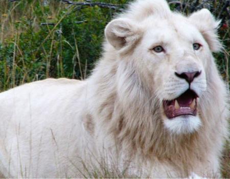 صور أول أسد أبيض اللون في البرازيل